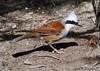 White-crested laughing thrush (Garrulax leucolophus)