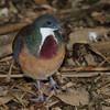 Mindanao bleeding-heart dove
