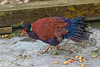 Pheasant pigeon (Otidiphaps nobilis)