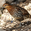 Chestnut-bellied Hill Partridge