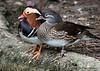 Mandarin Ducks (Aix galericulata)