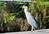 Night-crowned heron