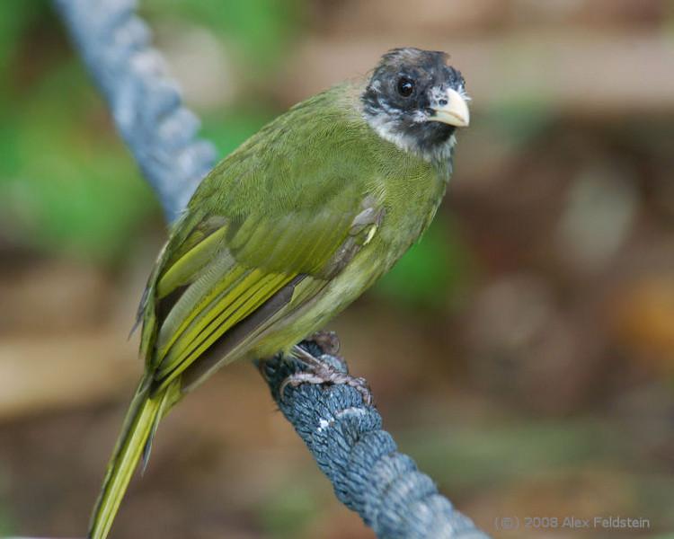 Collared Finch-billed Bulbul (Spizixos semitorques)