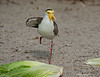 Masked lapwing (Vanellus miles)<br /> You can see the talon in this one