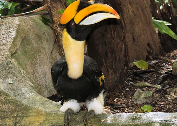 Great Indian Hornbill (Buceros bicornis)
