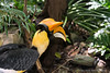 Great Indian Hornbill (Buceros bicornis)