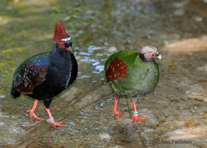 Crested-wood partridges