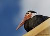Storm's stork (Ciconia stormi)
