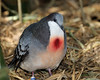 Luzon bleeding heart dove