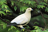 Pied Imperial Pigeon (Ducula bicolor)