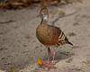 Plumed whistling duck (Dendrocygna eytoni)