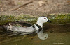 Cotton teal (Nettapus coromandelianus)