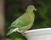 Orange-bellied fruit dove