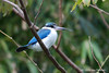 White Collared Kingfisher (Todirhamphus chloris)