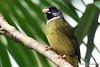 Collared finchbill bulbul (Spizixos semitorques)