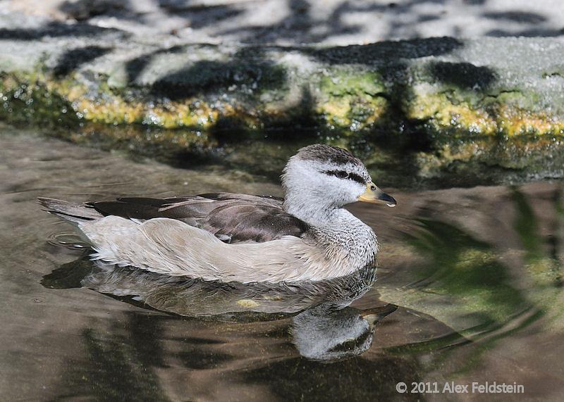 Pigmy goose