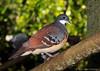 Luzon bleeding heart dove