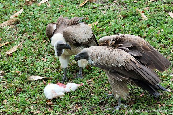 White-backed vultures feeding