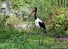 Saddle-billed Stork (Ephippiorhynchus senegalensis