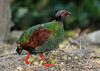 Crested-wood partridge