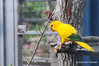 Golden conure<br /> Guaruba guarouba