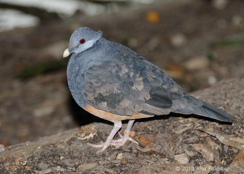 Thick-billed ground pigeon