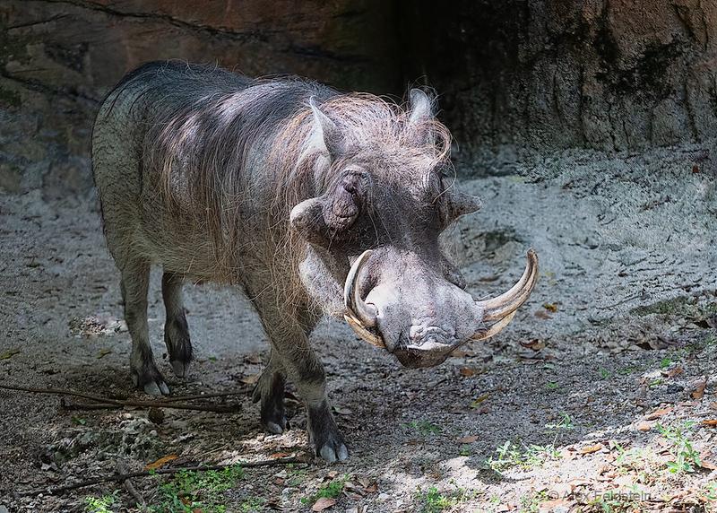 Warthog (Phacochoerus africanus)