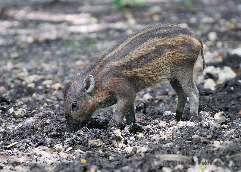Visayan warty pig baby