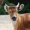 Banteng (female)