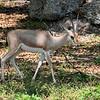 Slender Horned Gazelle
