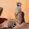 Meerkats (Suricata suricatta)