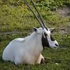 Arabian Oryx (Oryx leucoryx)