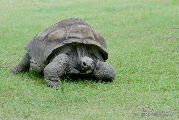 Galápagos Tortoise (Geochelone nigra)