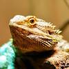 Bearded dragon (Pogona vitticeps) from Western Australia