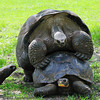 Aldabaran turtles
