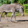 Grévy's zebra