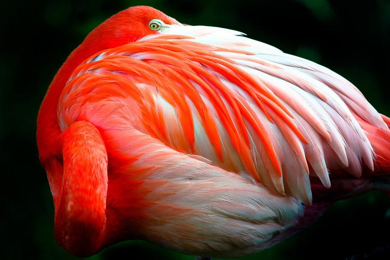 Saturated Flamingo