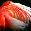 Saturated Flamingo