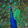 Colorful Peacock San Diego Zoo