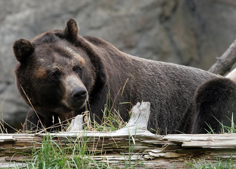 Bear Oklahoma City Zoo