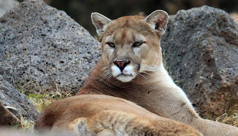 Mountain Lion intent gaze Oklahoma City Zoo