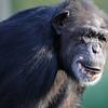 Older Chimpanzee Tulsa Zoo