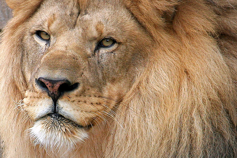Lion Closeup Tulsa Zoo