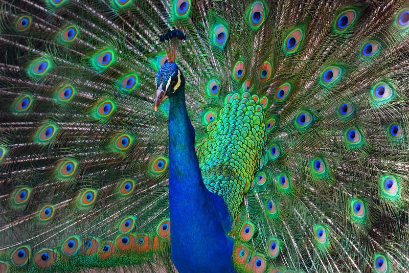 Closeup Peacock Display