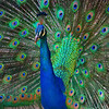 Closeup Peacock Display