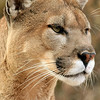 Mountain Lion Oklahoma City Zoo
