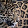 Leopard Closeup Tulsa Zoo