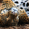 Leopard Tulsa Zoo