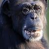 Chimpanzee Portrait Tulsa Zoo