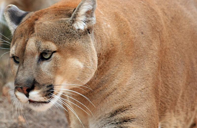 Mountain Lion Oklahoma City Zoo